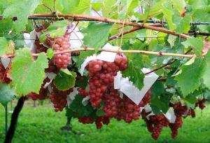 赤ワイン用のブドウ
